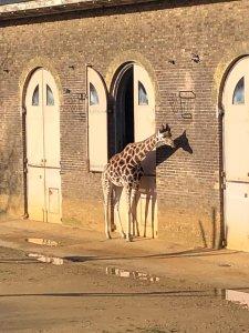 London Zoo Giraffe