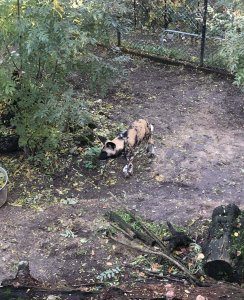 London Zoo Hunting Dog