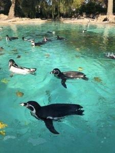 London Zoo Penguin